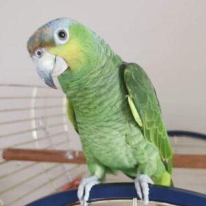 Bobby, Orange Winged Amazon