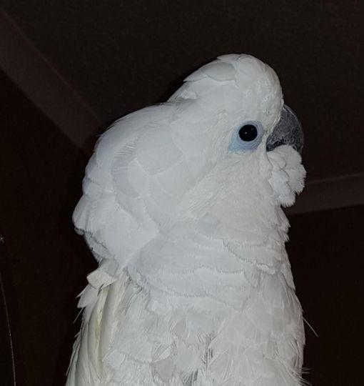 Barney, Umbrella Cockatoo