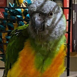 Billy, Senegal Parrot