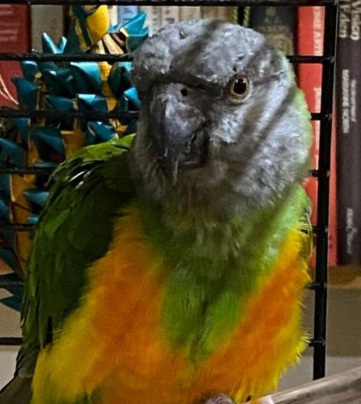 Billy, Senegal Parrot
