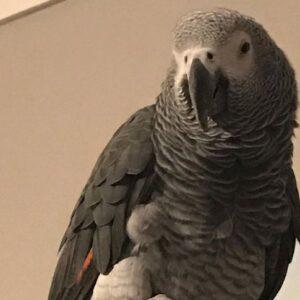 Burt, African Grey Parrot
