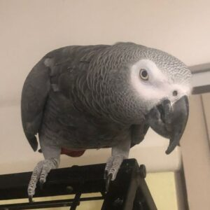 Charlie, African Grey Parrot