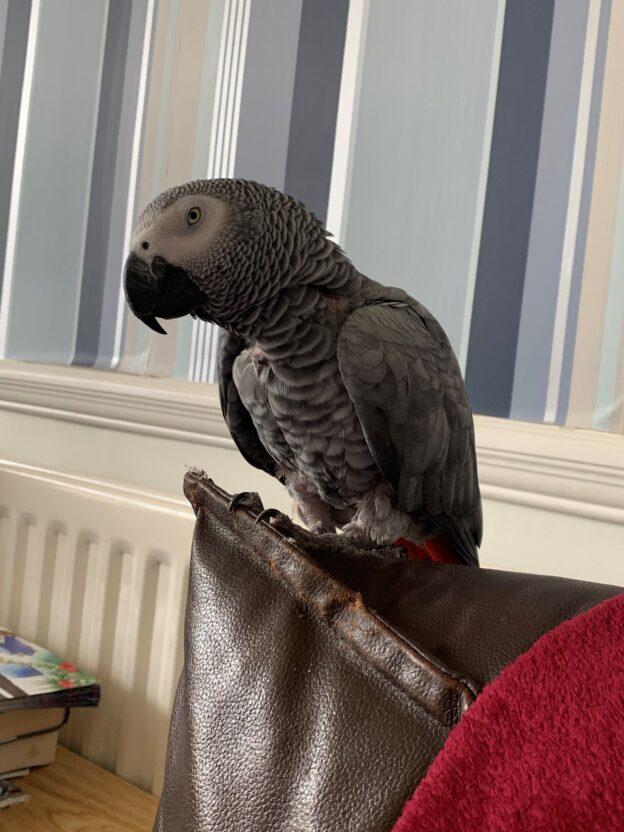 Daisy, African Grey Parrot