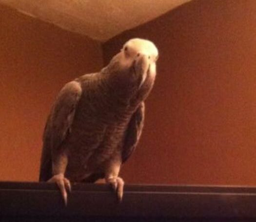 Foggy, African Grey Parrot