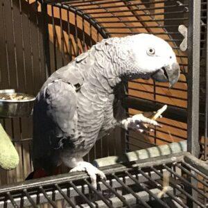 Georgina, African Grey Parrot, holding a banana chip