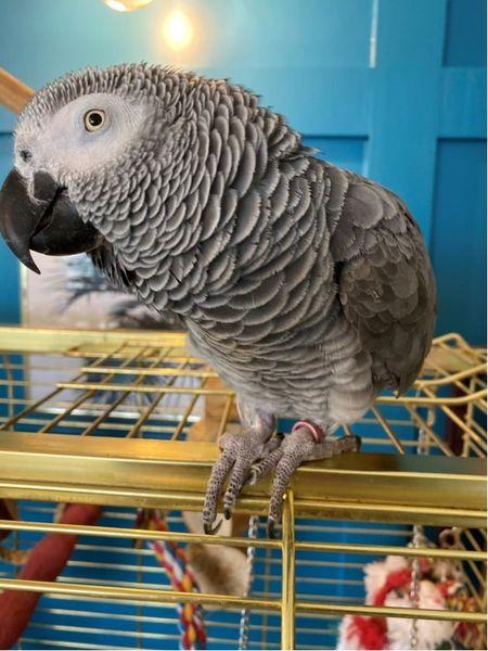 Jombolena, African Grey Parrot