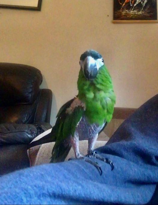 Jo Jo, Hahn's Macaw