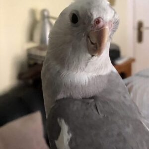 Raj, white and grey cockatiel, head shot