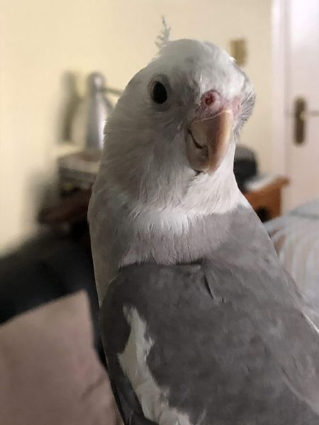 Raj, white and grey cockatiel, head shot