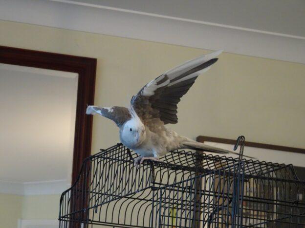 Raj, Cockatiel with wings spread