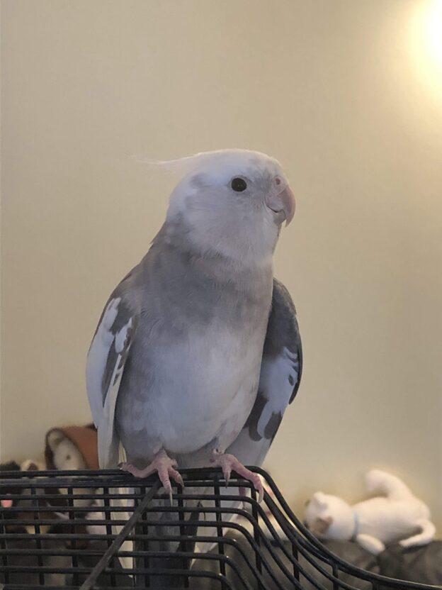 Raj, white and grey cockatiel, close up