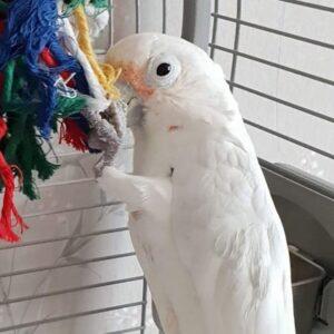 Rosie, Goffins Cockatoo