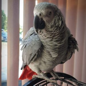 Sally, African Grey Parrot