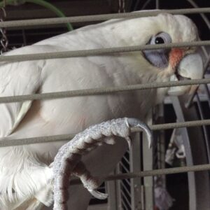 Sam, Bare Eyed Cockatoo