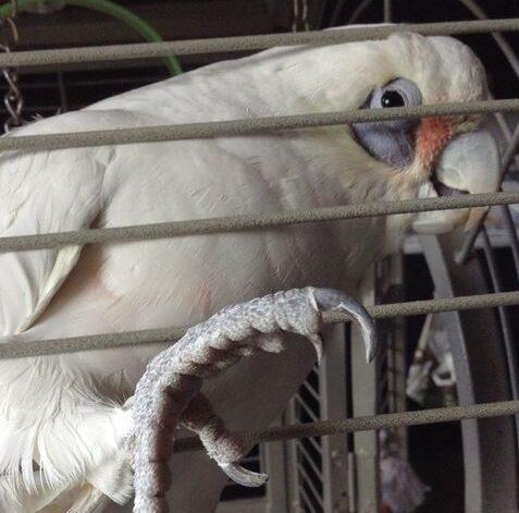 Sam, Bare Eyed Cockatoo