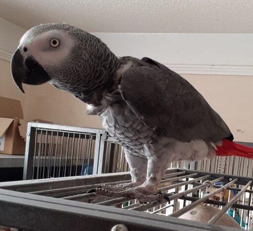 Sinbad, African Grey Parrot