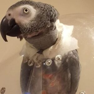 Kuku, African Grey Parrot, with collar to prevent plucking