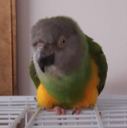 Stumpy, Senegal Parrot