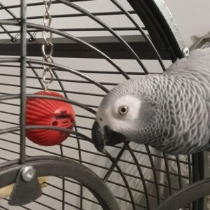 Beau, African Grey Parrot