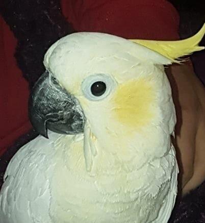 Bobby, Lesser Sulphur Cockatoo