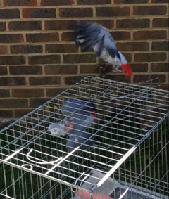 African greys leaving carrier to go in aviary for the first time