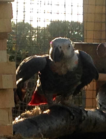 African Grey spreading wings