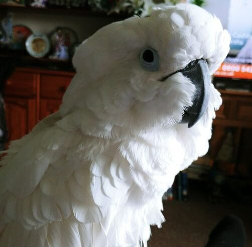 Charlie, Umbrella Cockatoo