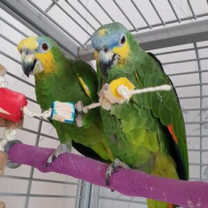 Corky and Floyd, Orange Wing Amazon Parrots