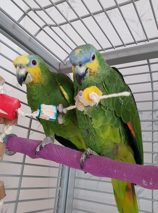 Corky and Floyd, Orange Wing Amazon Parrots