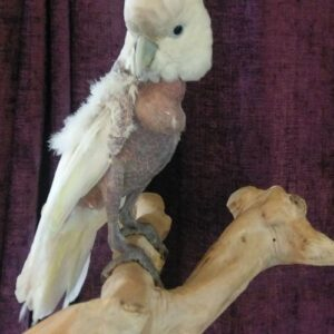 Darcy, Ducorp Cockaoo, with bare chest due to feather plucking