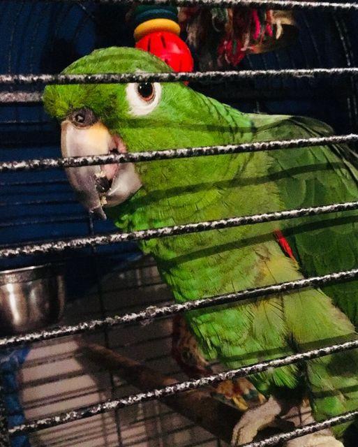George, Amazon Parrot