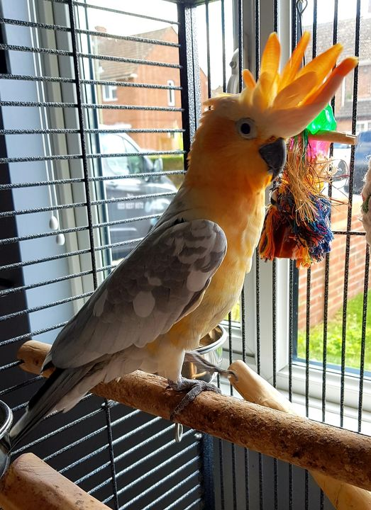 Georgie, Sulpher Crested x Galah hybrid bird