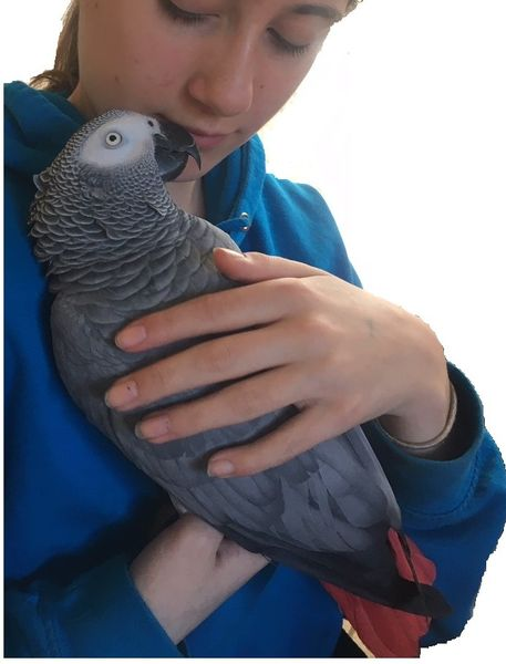 Jess, African Grey Parrot, being held in young woman's arms
