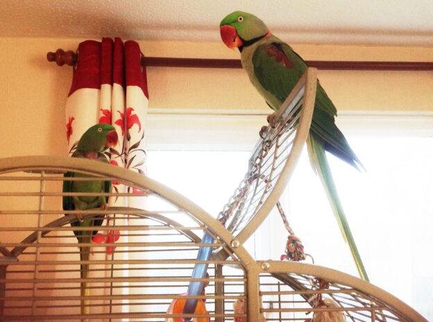 Louis and Simba, Alexandrian Parakeets
