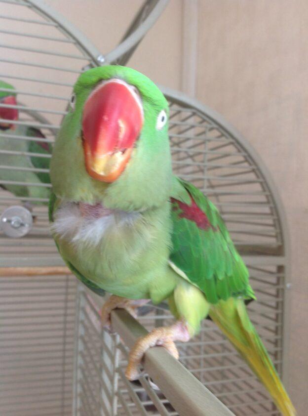 Louis or Simba, Alexandrian Parakeets