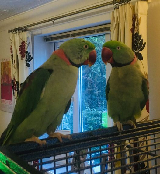 Max and Cocky, Alexandrian Parakeets