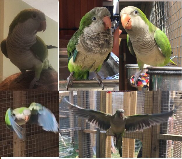 Ollie, Quaker (Monk) Parakeet montage of pictures