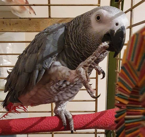 Ozzy, African Grey Parrot