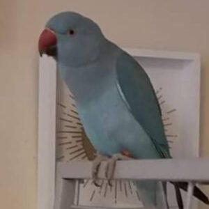Stitch, Indian Ringneck Parakeet