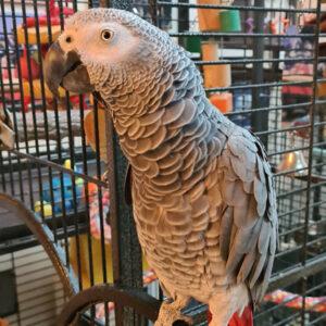 Albert, African Grey