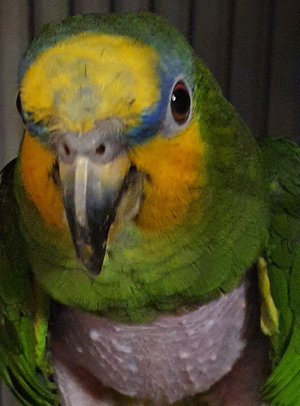 Bobby, Amazon Parrot
