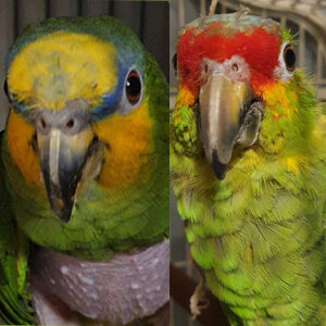 Bobby and Nelson, Amazon Parrots