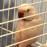 Jacko Ringneck Parakeet