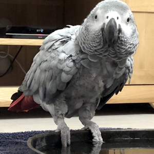 Tengu, Timneh African Grey