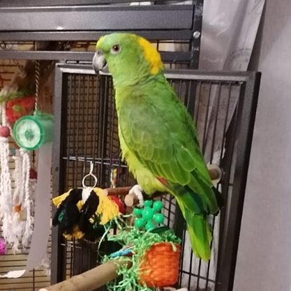 Coco, Yellow Naped Amazon Parrot