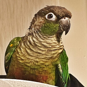 Colin - Green Cheek Conure