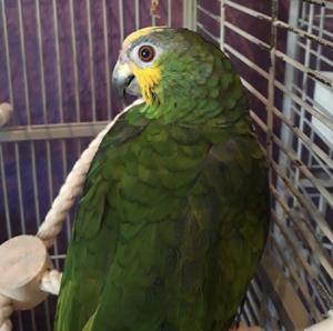 Flo - Amazon Parrot
